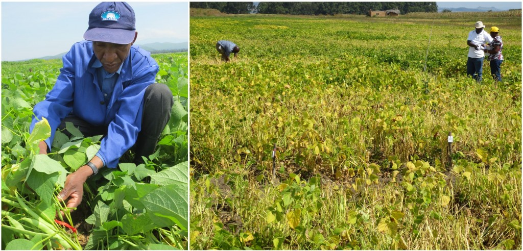 Single plant selections from 35 PIC populations were completed at Selian (Arusha; left photo) and at Uyole (Mbeya; right photo) Stations.