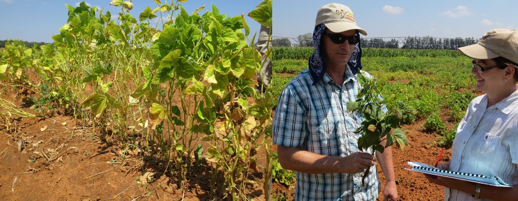 Identifying typical effects of high temperature stress, including poor seed set and pin pods at ARC Station in Vaalharts, South Africa.