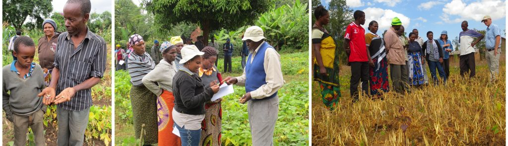 Family showing seed types in Kikatiti (left photo) and farmers evaluating APD lines in Sakila (middle photo) both near Arusha in the District of Arumeru. In the village of Ivuanga near Mbeya in the District of Mbezi, farmers evaluate ADP lines at maturity (right photo).